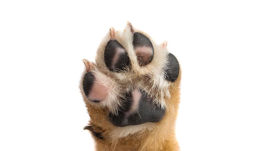 Cuscinetti cane: Come prendersene cura?