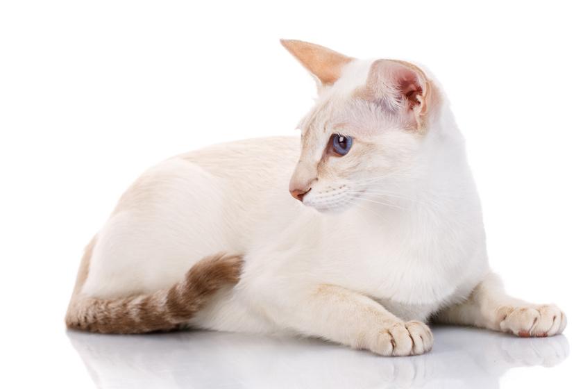 Il Giavanese: Tutte le razze di gatti