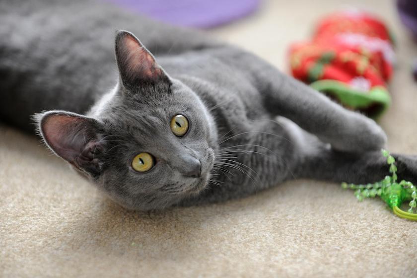 Korat: razze di gatti