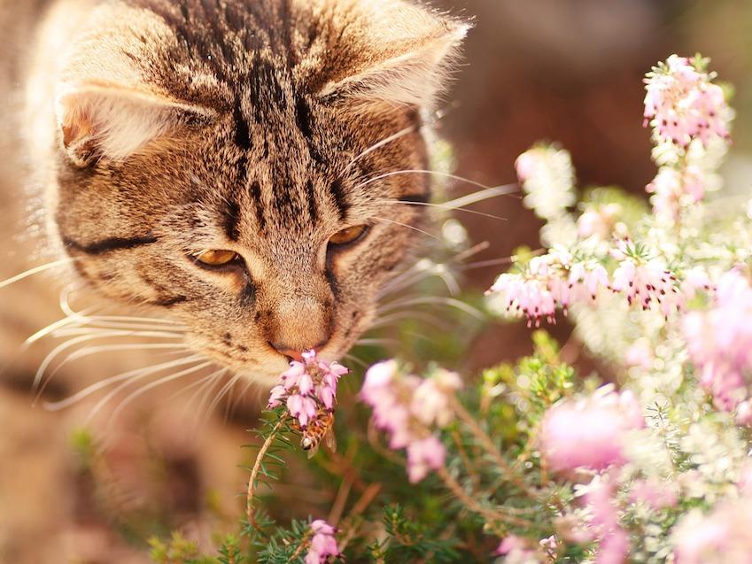 Olfatto gatto: gli odori che lo stimolano o lo infastidiscono