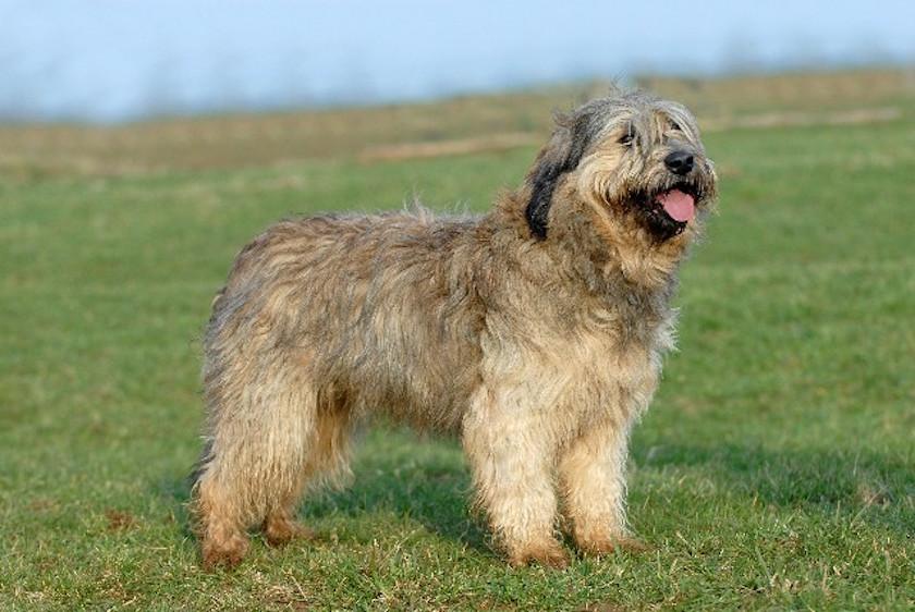 Cane da pastore catalano: Tutte le razze di cani