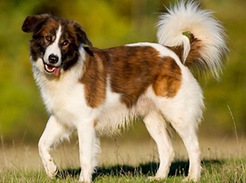 Cane dell'Atlas: Tutte le razze di cani fedeli