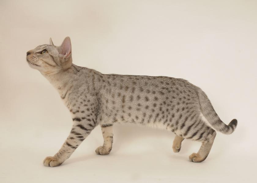 Ocicat: Razza di gatto affettuoso