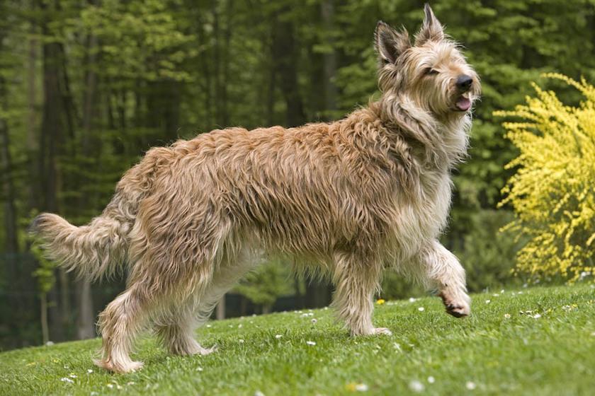 Cane da pastore della Piccardia: Razza di cane fedele