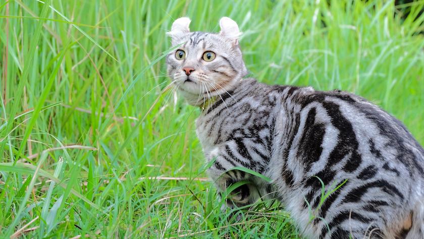 American Curl: Razze di gatti affettuosi