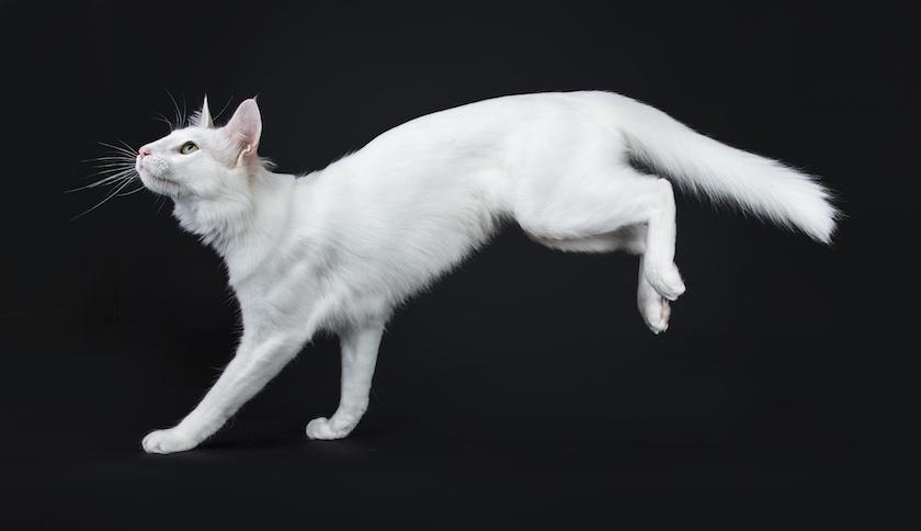Angora Turco: Razza di gatto indipendente