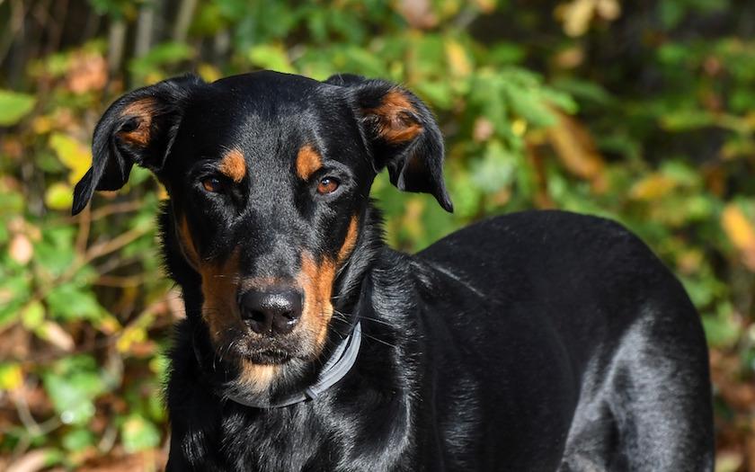 Beauceron ( Pastore della Beauce): Razze di cani francesi