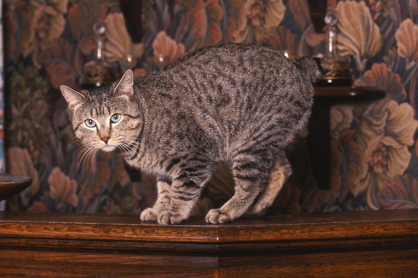 Pixie-bob: Le razze di gatti affettuosi