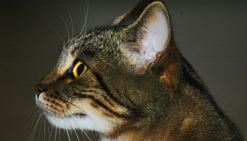 Udito gatto: Come funziona l'orecchio del gatto ?