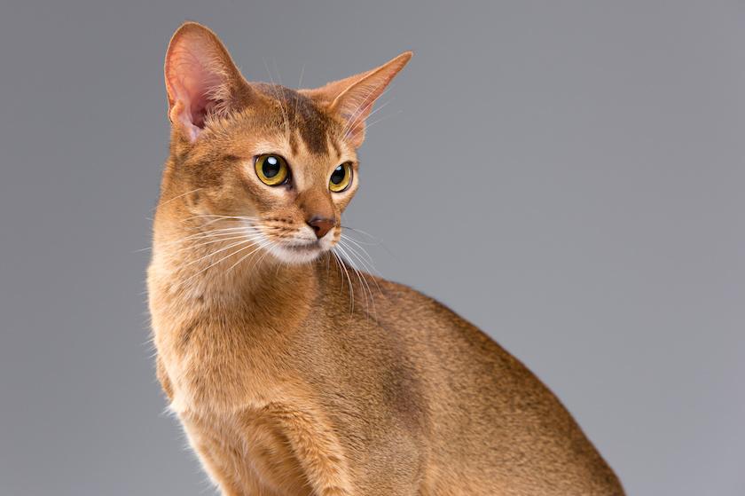 L'Abissino - Razza di gatto affettuoso