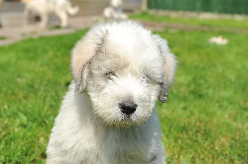 Cane da pastore della Russia meridionale: Razza di cane intelligente