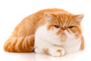 Exotic Shorthair - Razza di gatto intelligente