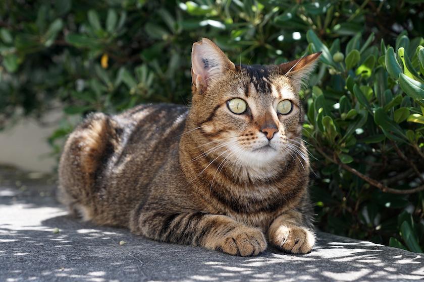 Il gatto randagio: Razza di gatto indipendente