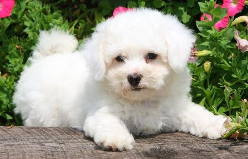 Bichon à poil frisé : razza di cane