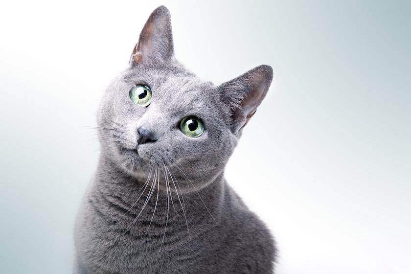 Blu di Russia - Razza di gatto dolce