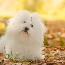 Bolognese: Razza di cane da compagnia per eccellenza