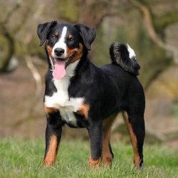 Bovaro dell'Appenzell: Cani adatti ai bambini