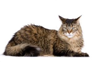 Maine Coon : Razza di gatto affettuoso