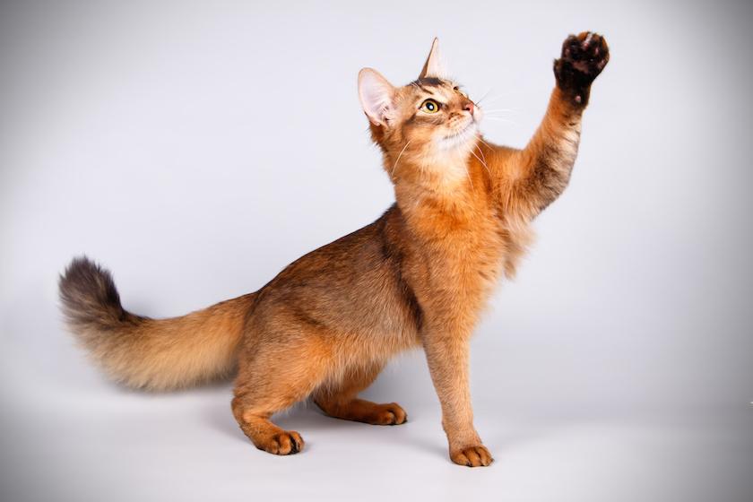 Il Somalo: Razza di gatto vivace e forte