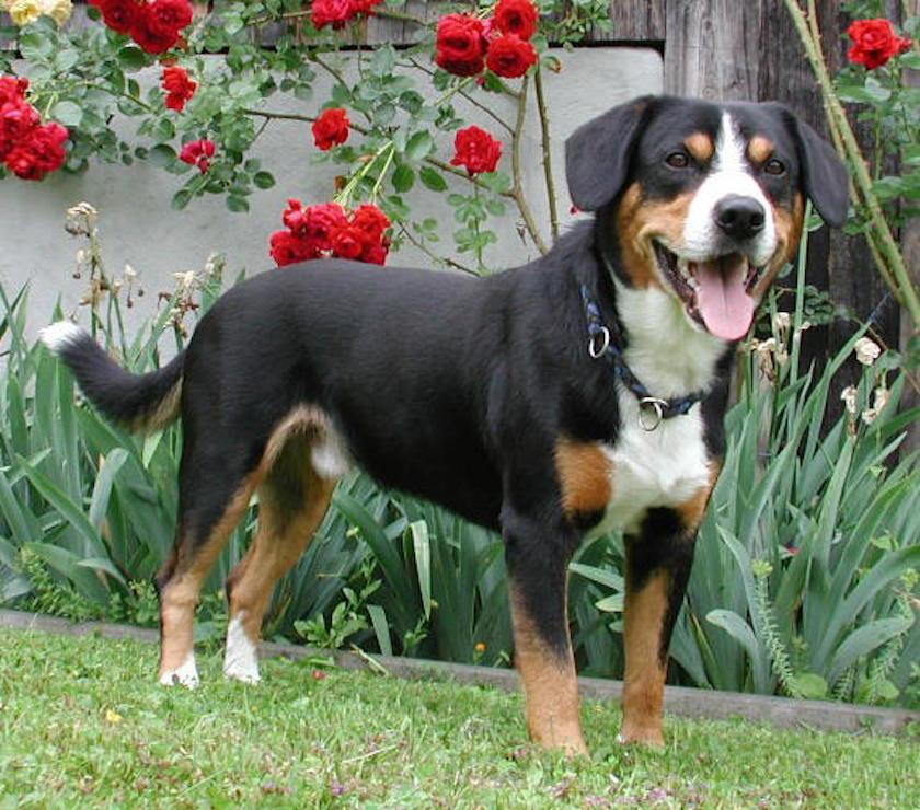 Bovaro di Entlebuch : Razza di cane da guardia