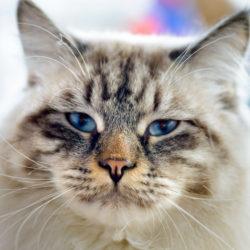 Ragamuffin : Razze di gatti affettuosi