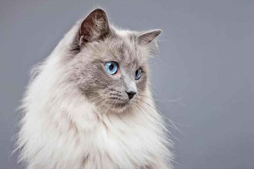 Il Ragdoll : Razza di gatto calma