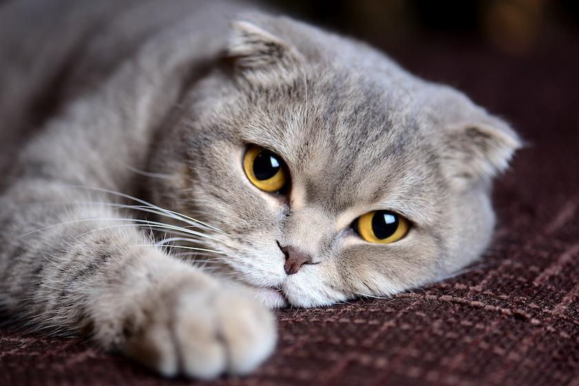 Scottish Fold : Razze di gatti affettuosi