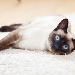 Il Siamese : Razze di gatti affettuosi