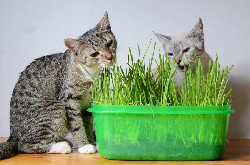 Alimentazione naturale gatto : erba gatta