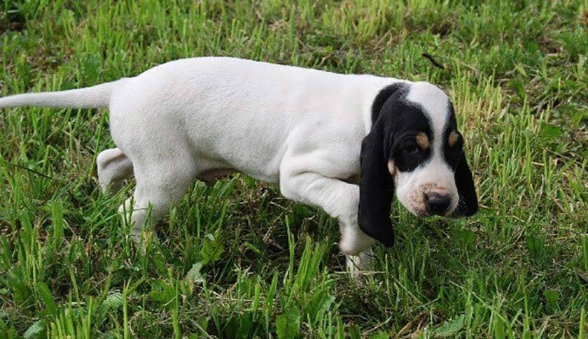 https://www.assuropoil.it/wp-content/uploads/ariegeois-tutte-le-razze-canine.jpg