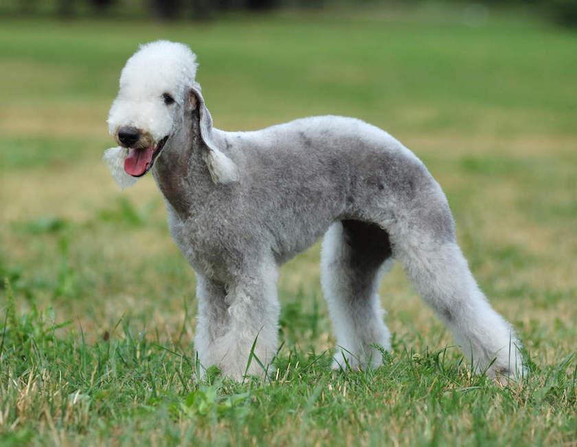 https://www.assuropoil.it/wp-content/uploads/bedlington-terrier-cane-da-caccia.jpg