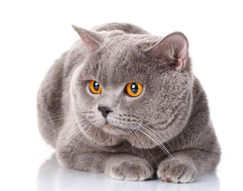 British Shorthair : tutte le razze di gatti