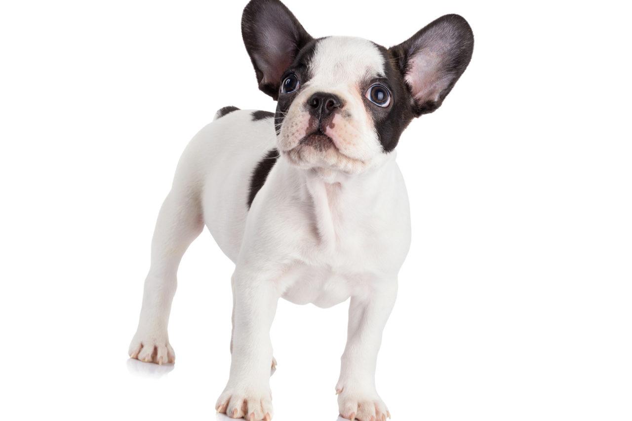 https://www.assuropoil.it/wp-content/uploads/bulldog-francese-tutte-le-razze-di-cani-1280x853.jpg