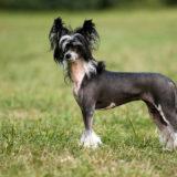 Cane crestato cinese Razza di cane per bambini
