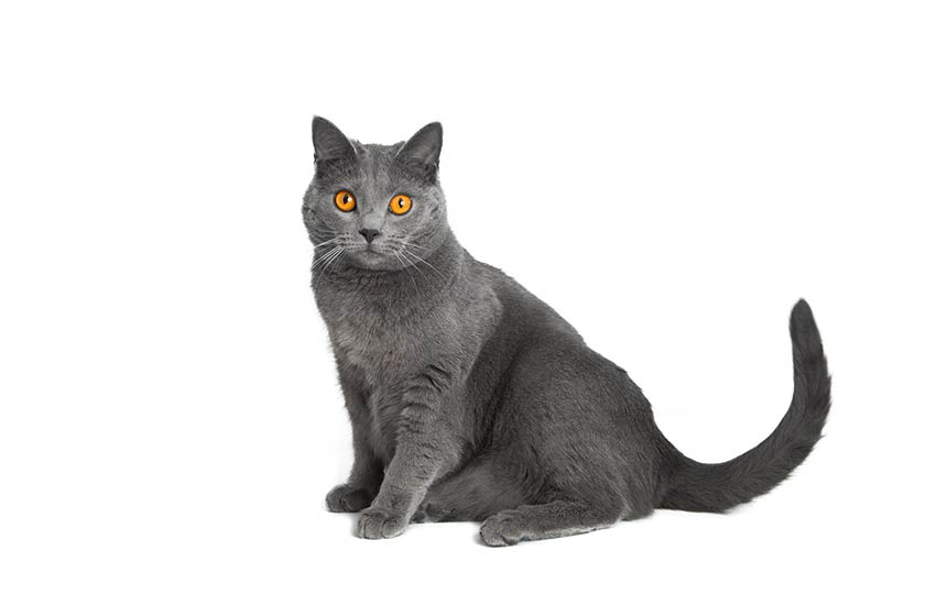 Il Certosino : tutte le razze di gatti