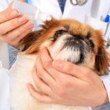 Come pulire gli occhi al cane? come occuparsene al meglio?