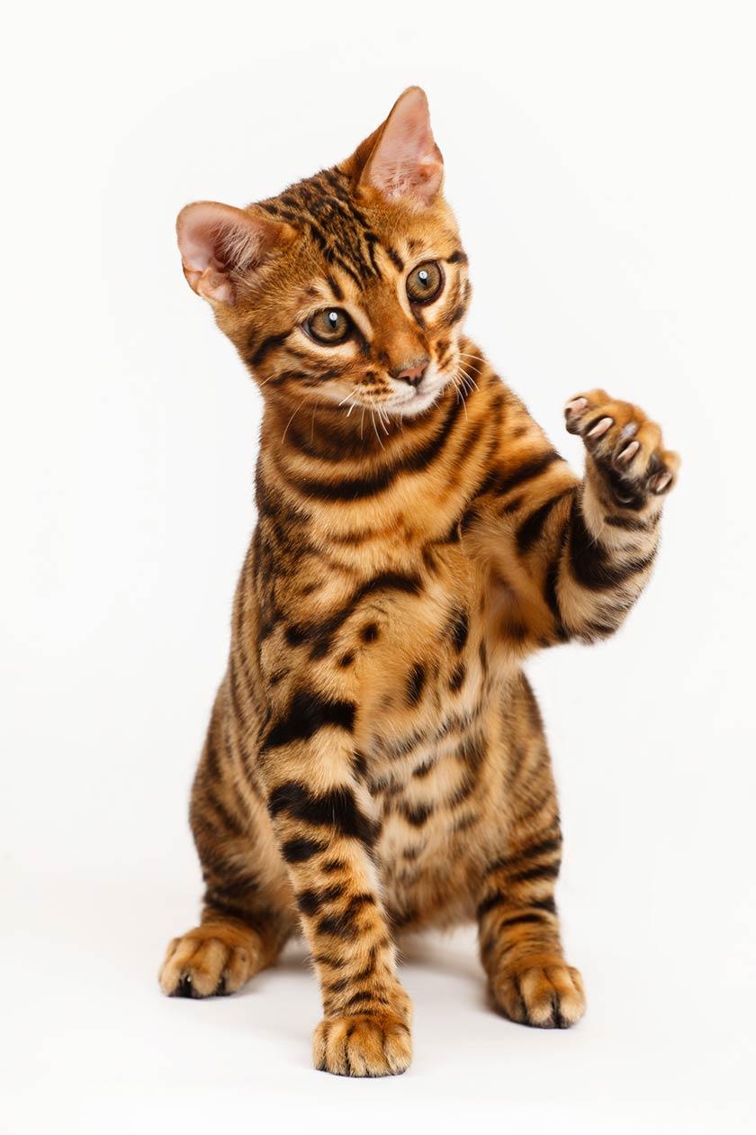 Il bengala : Gatto leopardo : tutte le razze di gatti