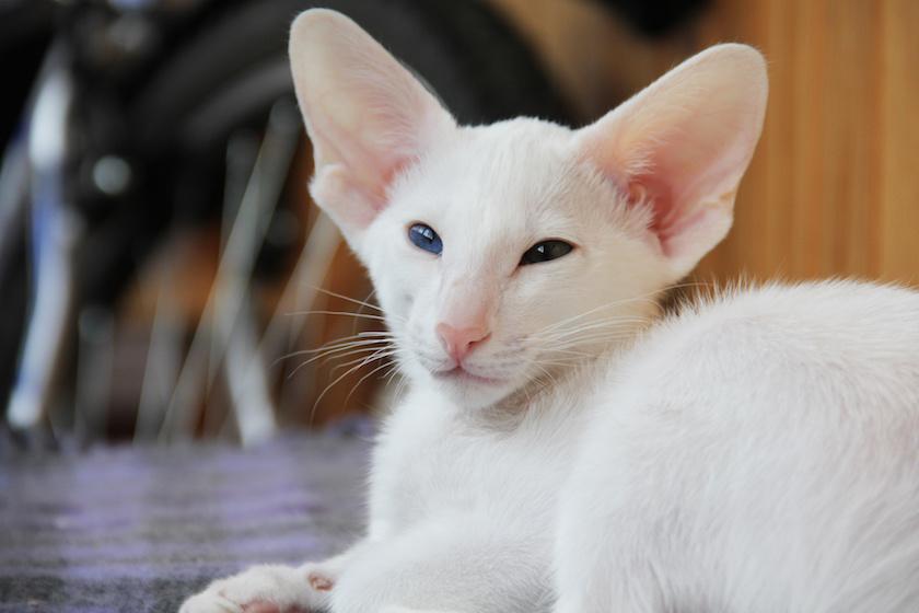 https://www.assuropoil.it/wp-content/uploads/gatto-orientale-razza-di-gatto-socievole.jpeg