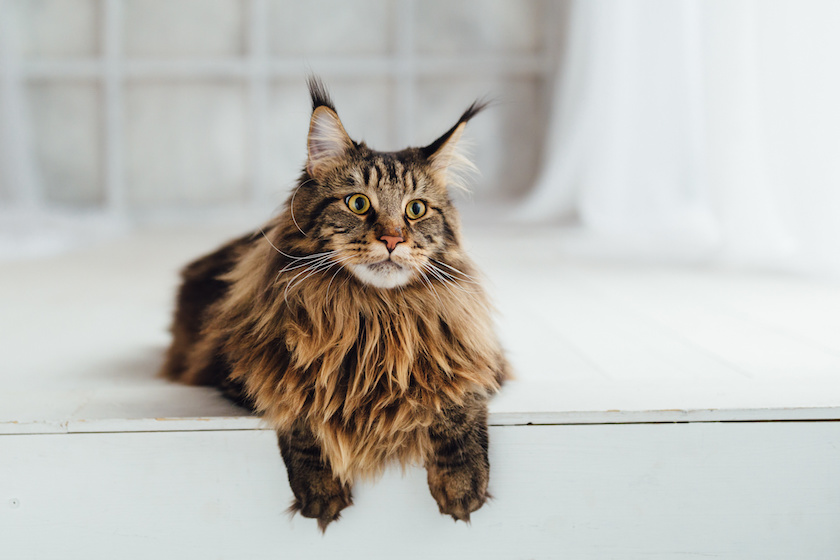 https://www.assuropoil.it/wp-content/uploads/maine-coon.jpeg